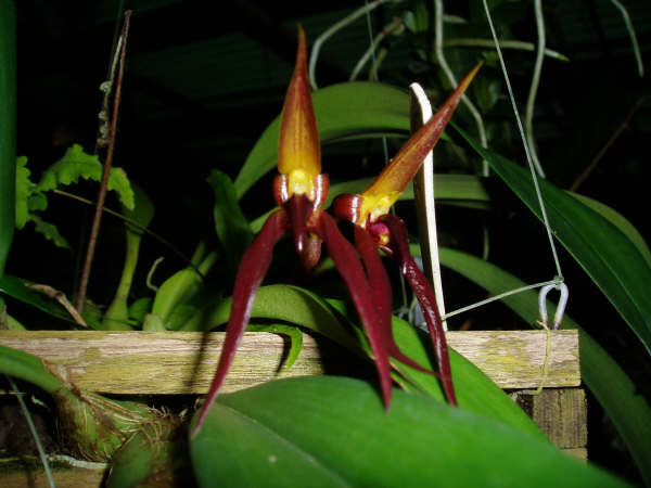 Bulbophyllum levanae